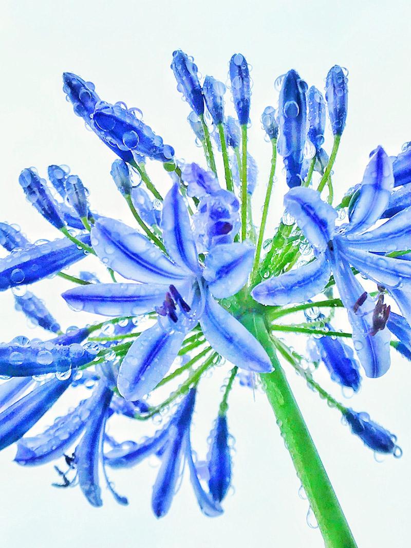 スマホカメラ作例解説「花と水滴」