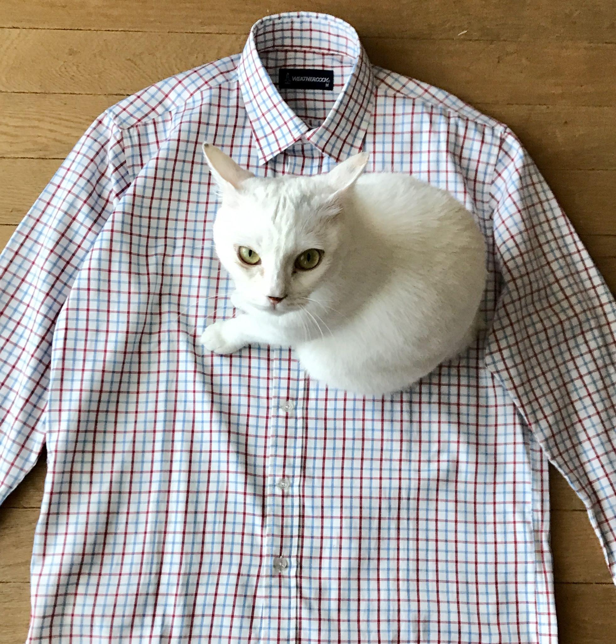 シャツと猫