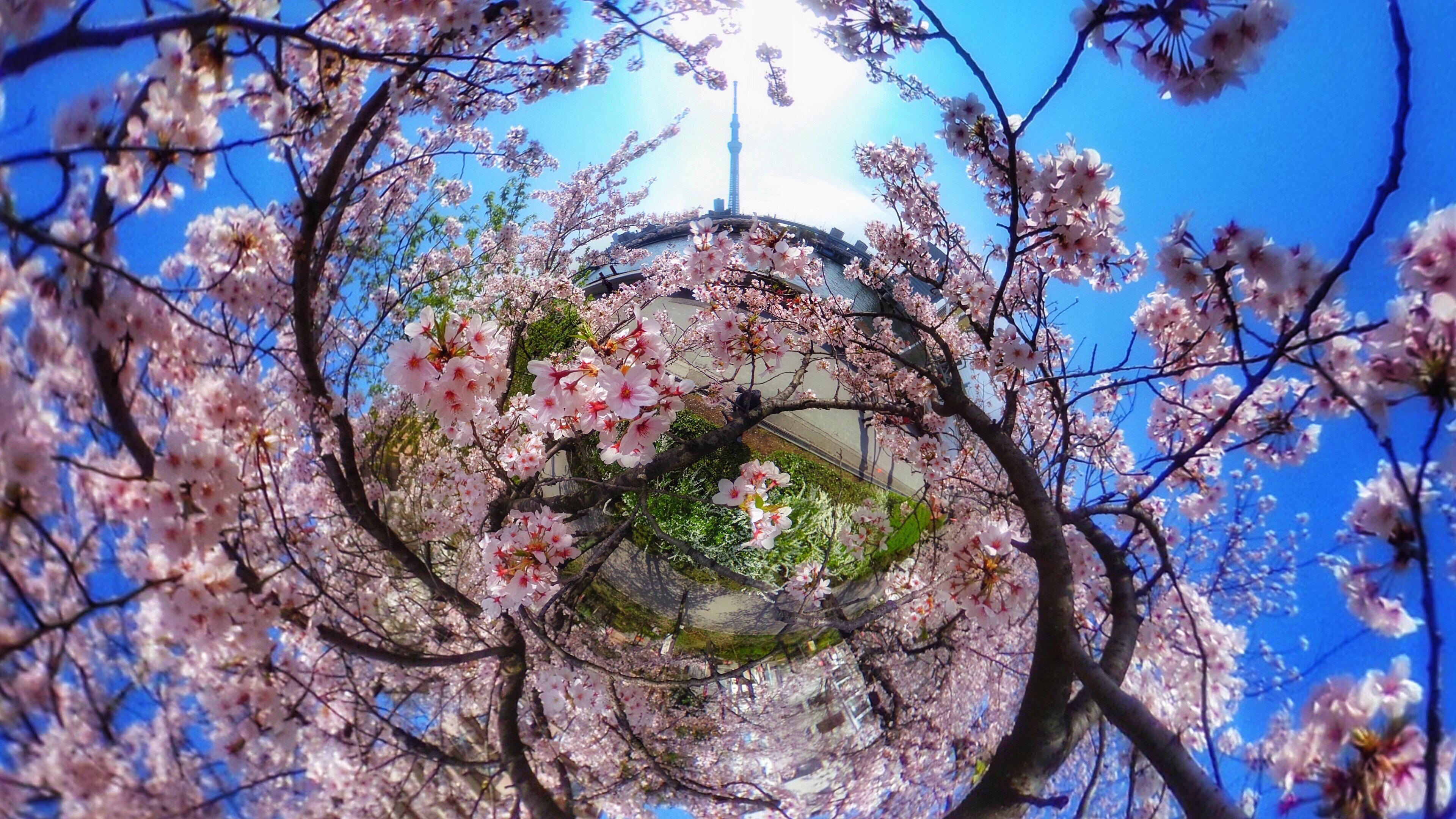 桜の別写真