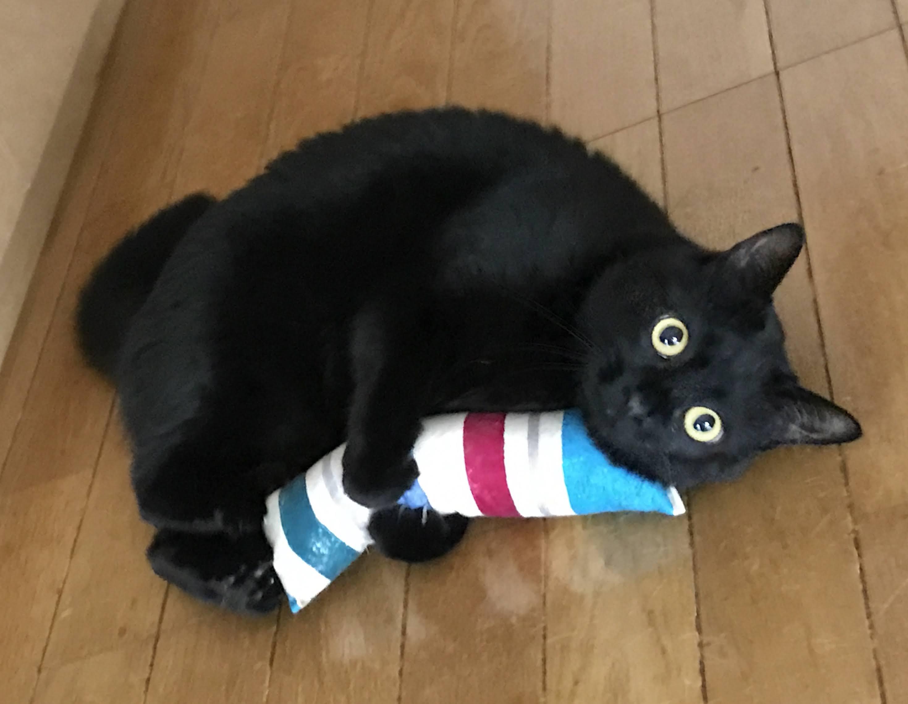 ウチの黒猫「チト」