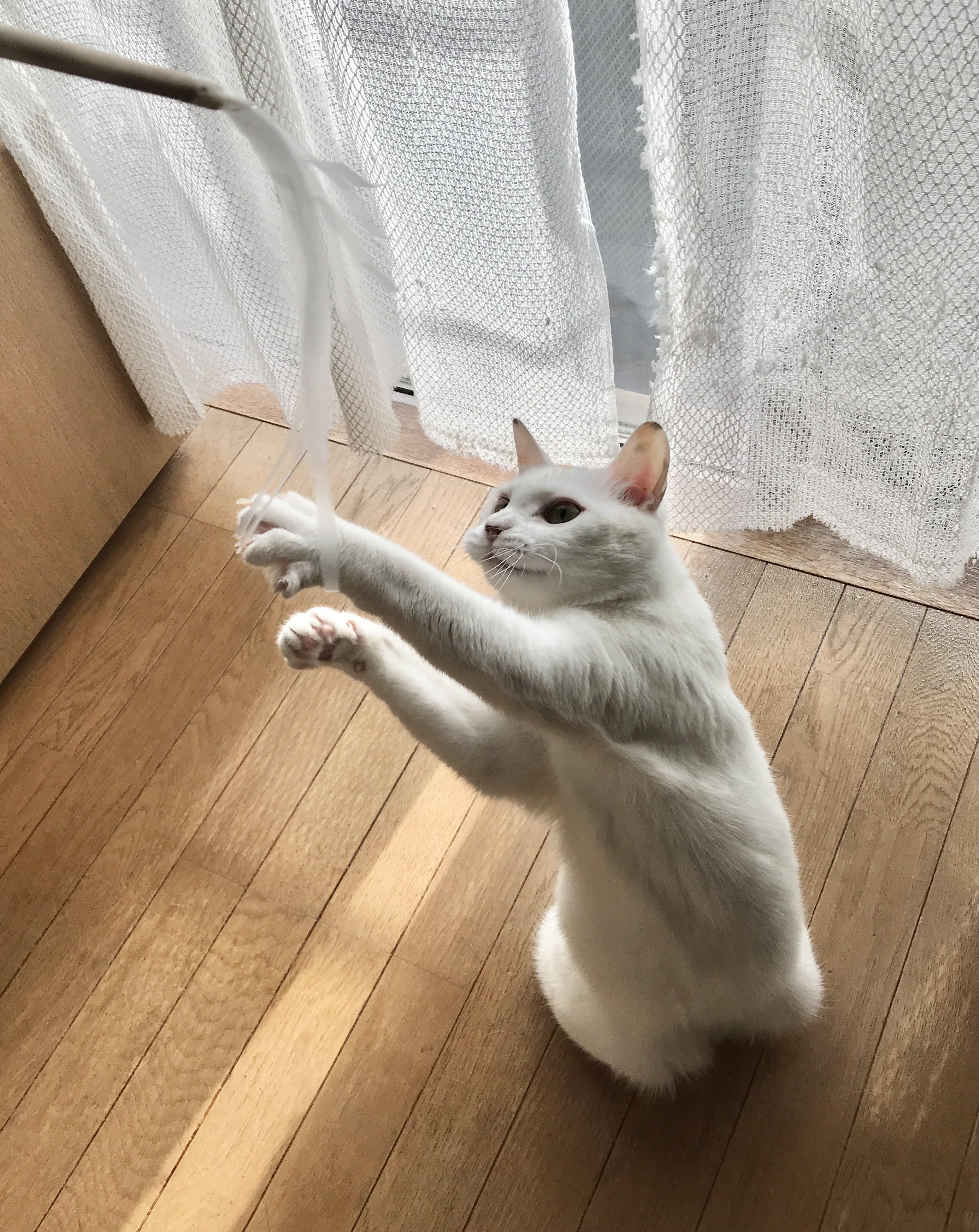 野生モードに一気に入る白猫「テト」③