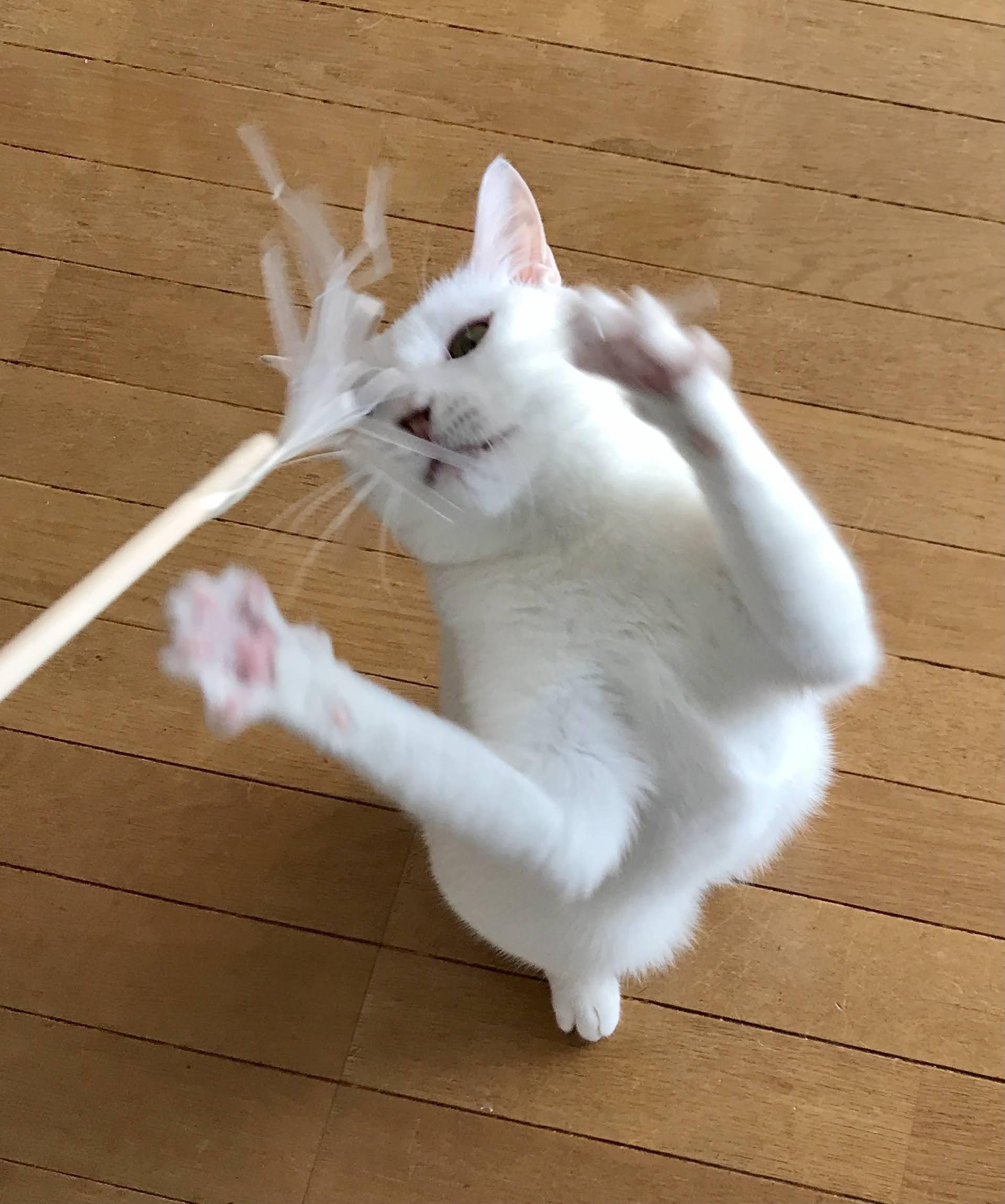 野生モードに一気に入る白猫「テト」④